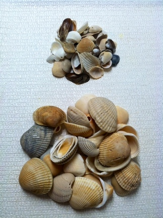 Sea Shells from Florida